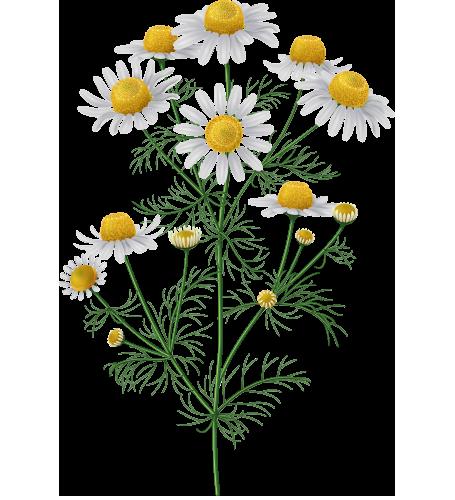 Цветки ромашки фармакопея